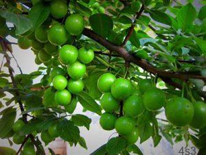 green1 tomato tree1 300x226 - نگهداری و کاشت درخت گوجه سبز