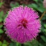 mimosa pudical6 e1 150x150 - روش تکثیر گل قهر