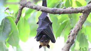 خبرهای پزشکی : الان زمان خواب خفاشهاست/ همه چیز درباره سوپ خفاش... سایت 4s3.ir
