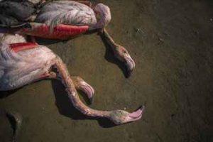 خبرهای پزشکی : بیماری بوتولیسم علت اولیه مرگ پرندگان میانکاله سایت 4s3.ir