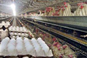 چگونه از مرغ و تخممرغ آنفلوآنزا نگیریم؟ سایت 4s3.ir