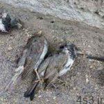 خبرهای پزشکی : کرونا ویروس پرندگان ارتباطی با کروناویروس چینی ندارد/جزئیات دستگیری عامل انتشار شایعه کرونا سایت 4s3.ir