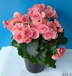 آشنایی با روش نگهداری از گل بگونیا هلندی سایت 4s3.ir