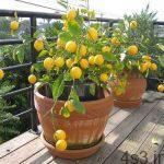 آموزش تصویری کاشت و پرورش درخت لیموترش در منزل سایت 4s3.ir