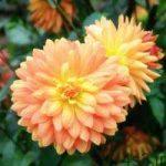 آموزش مفید پرورش دادن گل کوکب سایت 4s3.ir