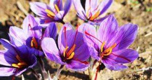 آموزش کاشت زعفران و شرایط کاشت و پرورش زعفران مرغوب سایت 4s3.ir