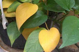 دلایل زرد شدن برگ گل و گیاهان سایت 4s3.ir