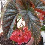 مراقبت از گیاهان آپارتمانی–بگونیا سایت 4s3.ir
