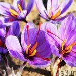 نحوه کاشت گیاه زعفران سایت 4s3.ir
