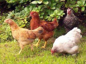 نکاتی برای نگهداری از مرغ و خروس سایت 4s3.ir