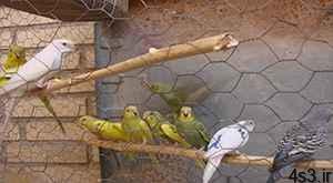 پرورش مرغ عشق سایت 4s3.ir