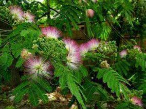 پرورش و نگهداری درخت ابريشم سایت 4s3.ir