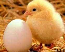 چند نكته درباره مرغ و تخم مرغ سایت 4s3.ir