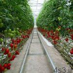 کشت گلخانهای گوجه فرنگی سایت 4s3.ir