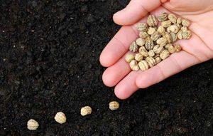 یک بذر خوب چه خصوصیاتی باید داشته باشد؟ سایت 4s3.ir