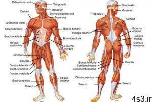 آشنایی با عضلات بدن سایت 4s3.ir