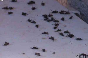 بارش های های بهاری موجب حمله سوسکها به استان قزوین شد سایت 4s3.ir