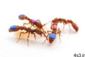 شیوه اصلاح ژنتیکی مورچه ها! سایت 4s3.ir