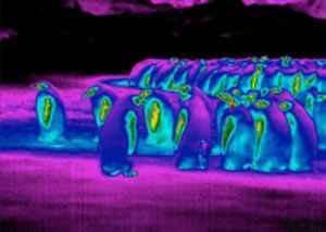 علت سازگاری پنگوئن با هوای سرد قطب