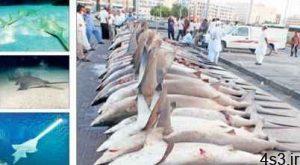 نسلکشی کوسهها در خلیجفارس! سایت 4s3.ir
