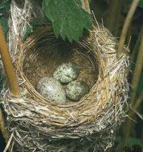 چرا پرندگان تخمگذارند؟ سایت 4s3.ir