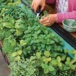 چگونه در آپارتمان خودمان سبزی بکاریم؟ سایت 4s3.ir