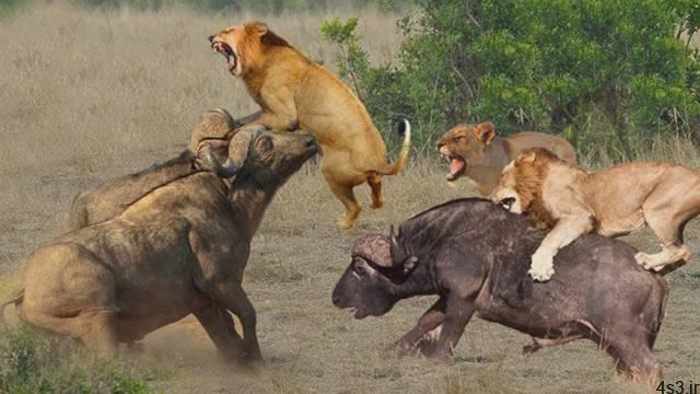 حملات شیر های وحشی - شیر در مقابل کفتار ، بوفالو ، گورخر - حیات وحش سایت 4s3.ir